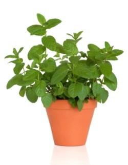 mynte plante indendørs